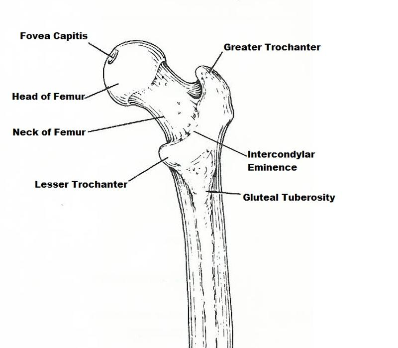 difference between axial and appendicular skeleton pdf